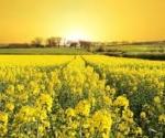 mustard-fields